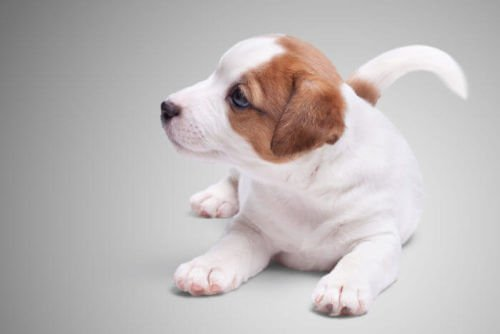 Un beau chiot de Jack Russell Terrier