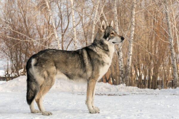 chien loup de Saarloos