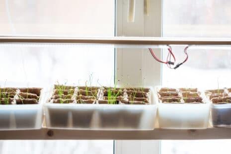 Semis en intérieur à chaud, derrière une fenêtre