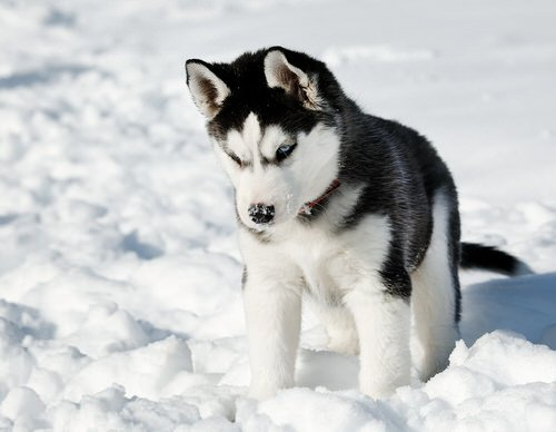 Le Hushky, ses si beaux yeux bleus !