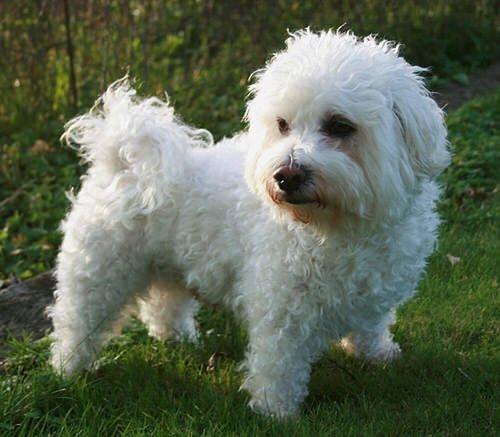 bichon maltais : un chien de race « made in délicatesse