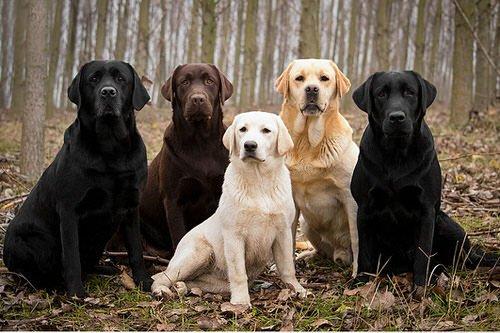 Le Labrador Retriever, beau et adorable