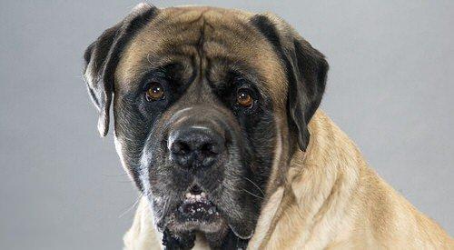 Le Mastiff, le chien dans toute sa noblesse