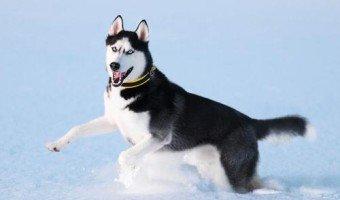 Le Husky, ses si beaux yeux bleus !