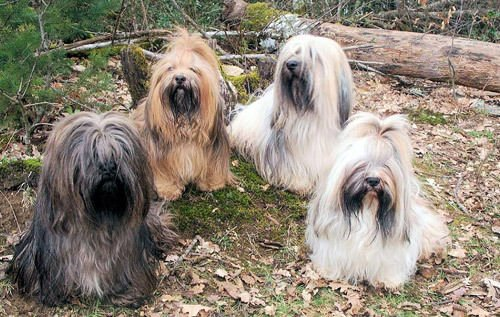 Le Lhassa Aspo, le chien porte-bonheur