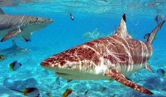 Le cartilage de requin, quels espoirs ?