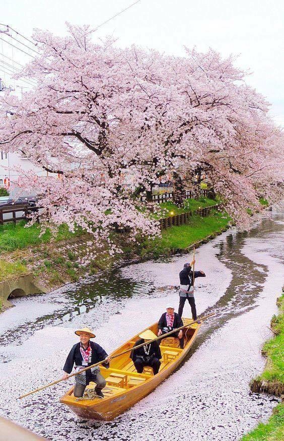 voguant sous les cerisiers en fleurs