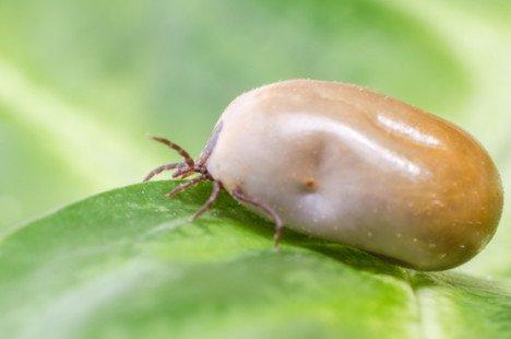 Diagnostiquer la maladie de Lyme
