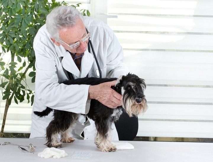 Traitement naturel de l'otite du chien