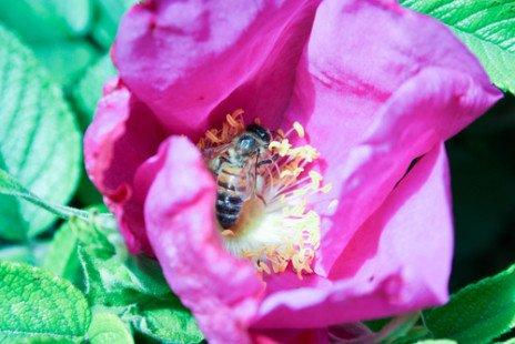 Le pollen, bon pour la santé