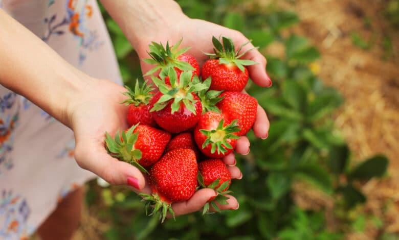 Mains d'une jeune femme remplies de fraises rouges, fraisiers en arrière plan