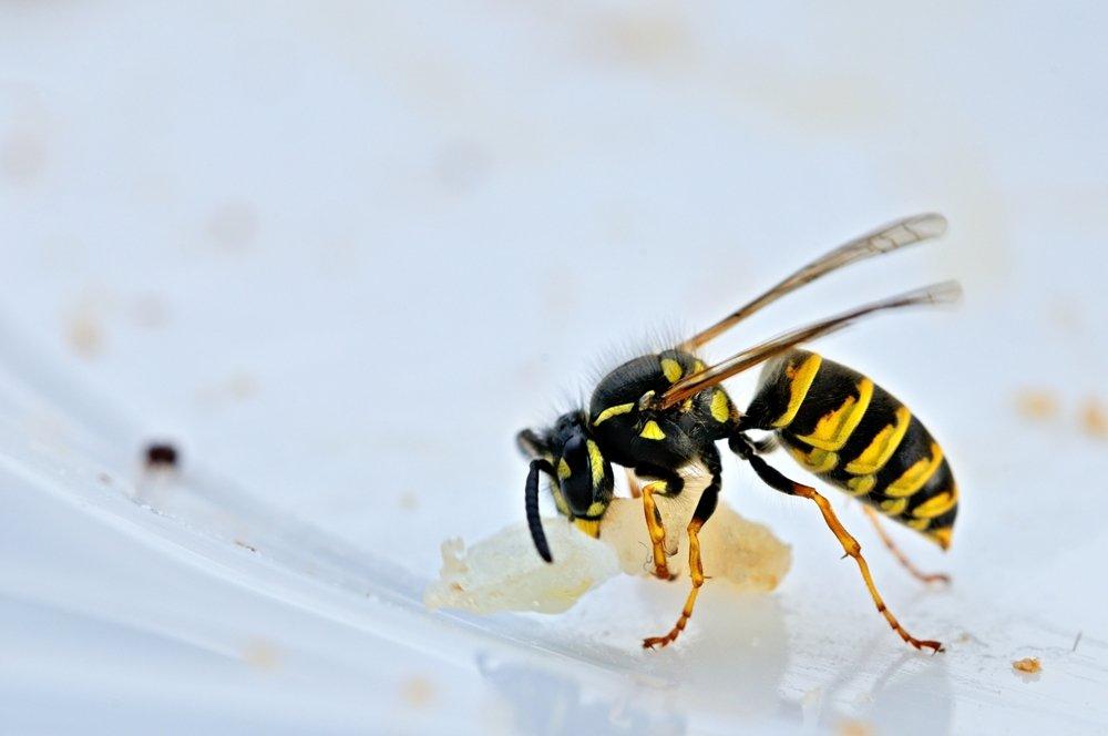 Photo of Remèdes naturels contre les piqûres de guêpe et d'abeille