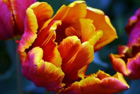 La tulipe perroquet