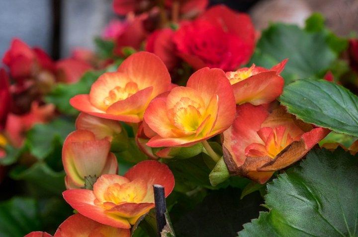 Photo of Le bégonia est une plante aux multiples variétés aux couleurs chatoyantes