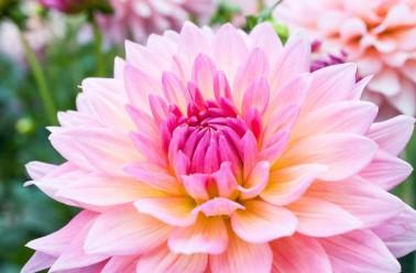 dahlias fleur : variétés et conseils d'entretien et plantation