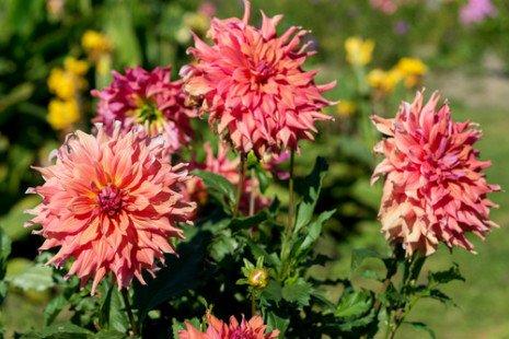 Des dahlias dans votre jardin