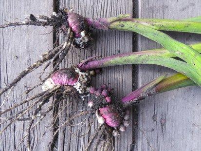 Plantez des glaïeuls dans votre jardin