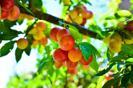 Tous les secrets de la prune