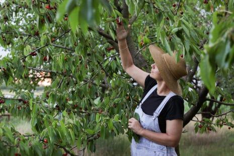 Femme avec un large chapeau sous un cerisier cueillant des cerises rouges