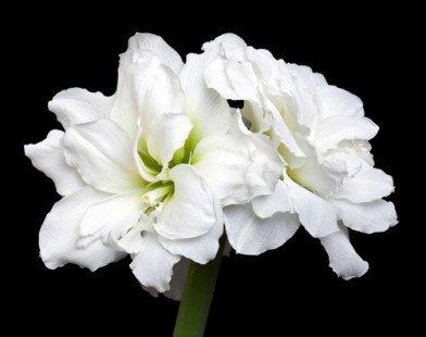 L'élégante amaryllis