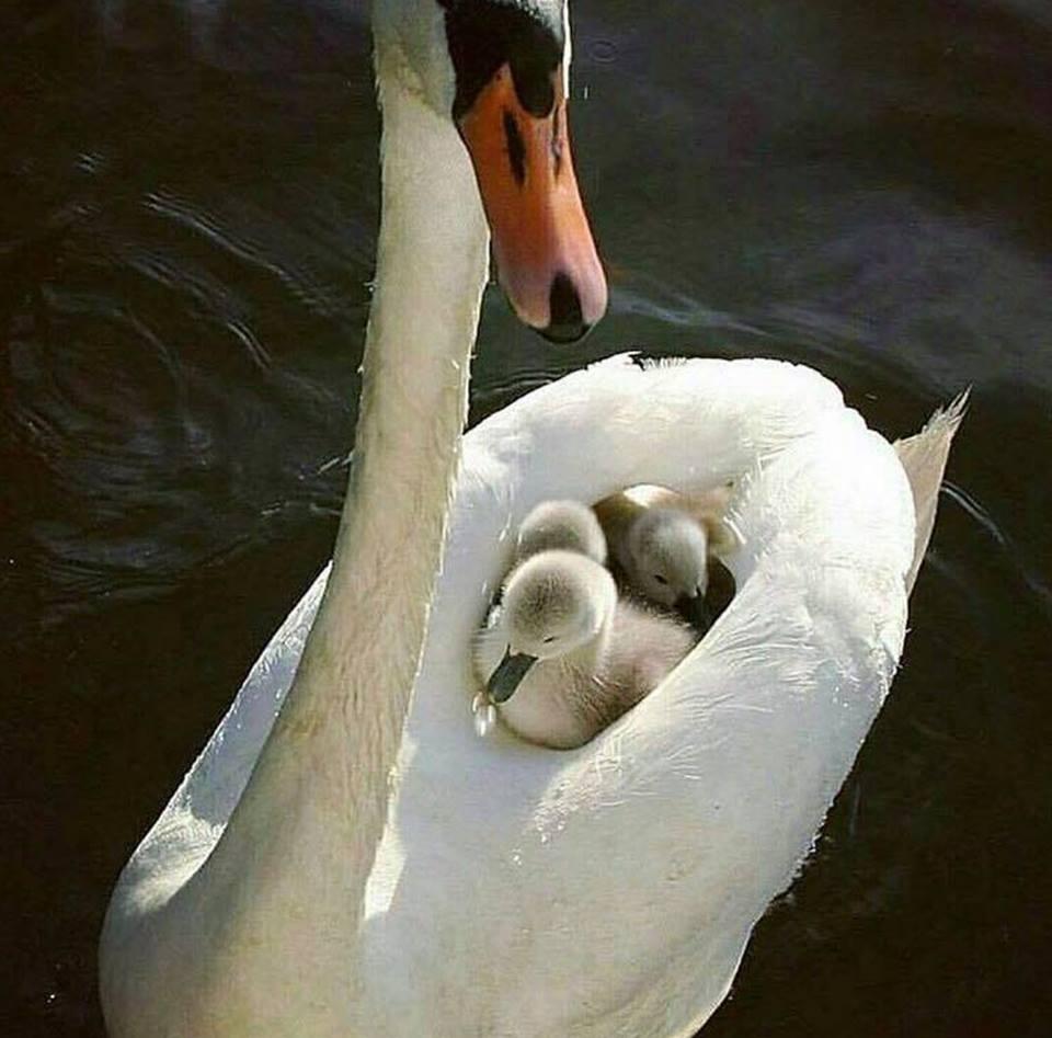 Photo of Le cygne et ses bébés