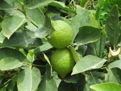 Un fruit aux multiples vertus