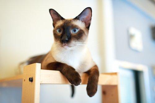 Tout savoir sur les races de chat