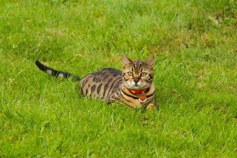 Le chat du Bengal