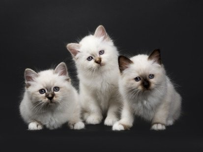 Des chatons Sacré de Birmanie