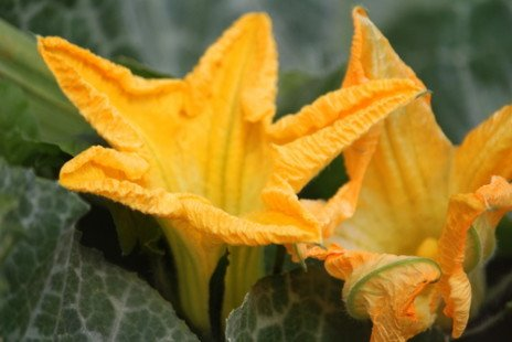 La fleur de courgette