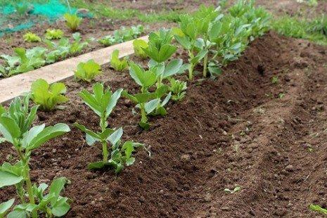 Plante potagère : la fève