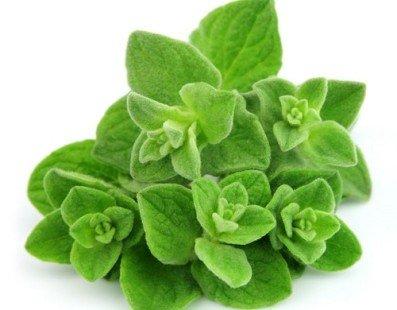 L'origan : une plante aromatique célèbre