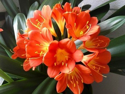 Clivia : une plante facile à planter et à entretenir
