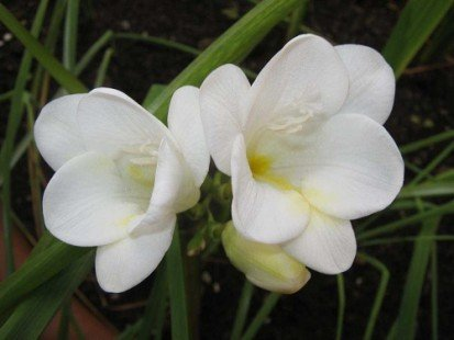 La plantation du freesia