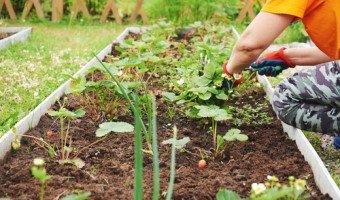 Les plantes potagères : comment faire pousser vos légumes