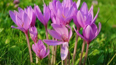 Photo of Le colchique : tous les secrets de cette fleur sauvage