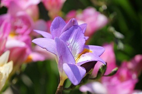 Le freesia, une fleur symbolique