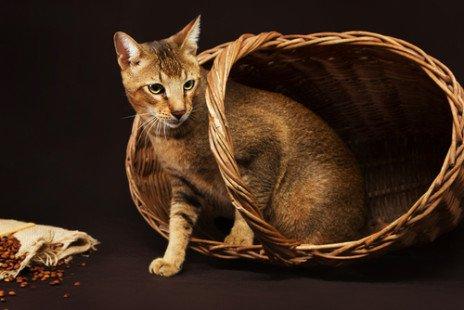 Le chat Abyssin, un affectueux compagnon