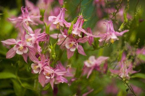 Fleurissez votre jardin avec l'ancolie
