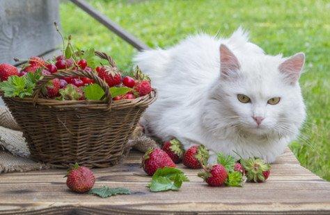 Tout savoir sur le chat Angora Turc