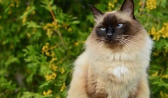 Le Balinais : l'élégance faite chat