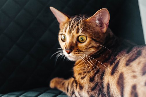 Photo of Le chat Bengal, un léopard d'intérieur !