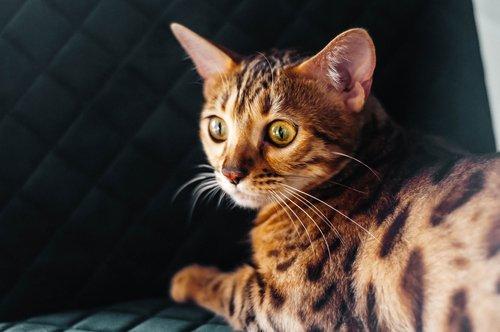 Découvrez le chat Bengal