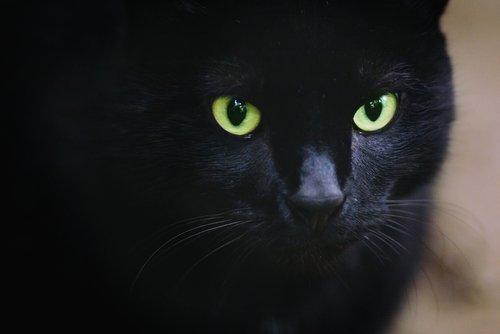 Photo of Le chat Bombay, une panthère miniature