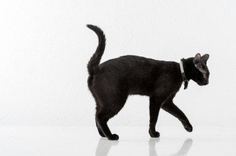 Le chat Bombay, une mini panthère affectueuse