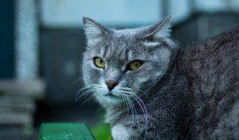 Le chat British Shorthair, so british
