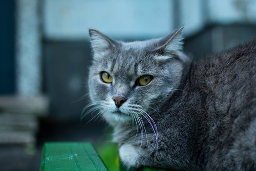 Photo of Le chat British Shorthair, so british