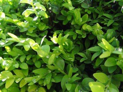 Arbustes célèbres : le buis