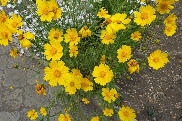 Le coréopsis, une fleur à découvrir