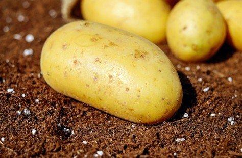 Pomme de terre : un légume facile à cultiver